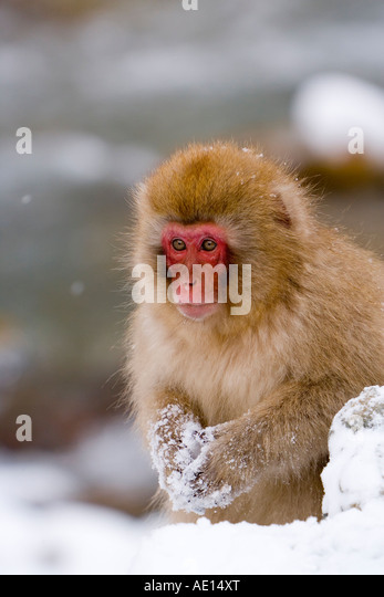 Japanese macaque Macaca fuscata Snow monkey young macaque in the snow Joshin etsu National Park Honshu Japan - Stock Image