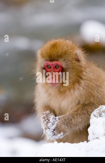 Japanese macaque Macaca fuscata Snow monkey young macaque in the snow Joshin etsu National Park Honshu Japan - Stock Image