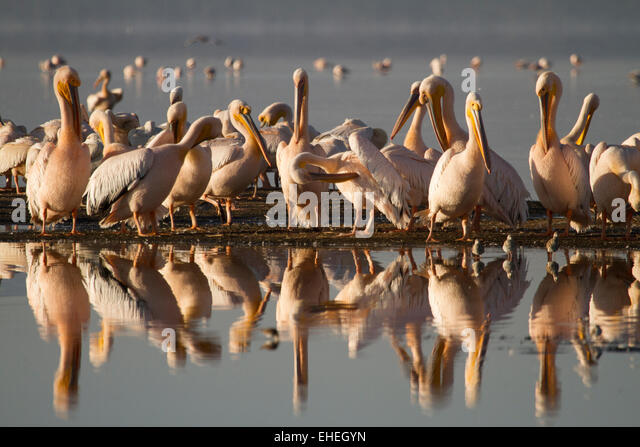 Great white pelicans (Pelecanus onocrotalus) grooming with reflection in the lake. - Stock Image