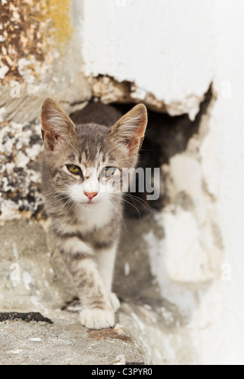 Europe, Greece, Cyclades, Santorini, Cat in hole - Stock Image