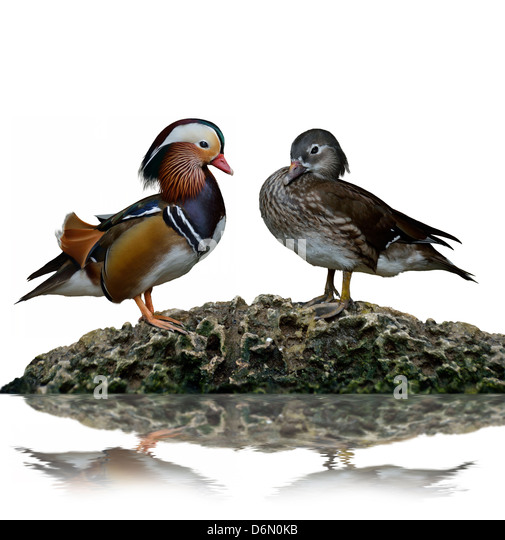 Male And Female Mandarin Ducks (Aix Galericulata) - Stock Image