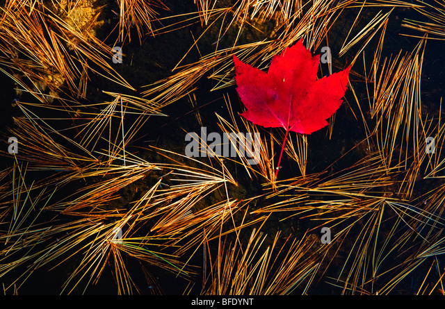 Close-up of red maple (Acer Rubrum) leaf and eastern white pine (Pinus strobusr, Killarney Provincial Park, Ontario, - Stock Image