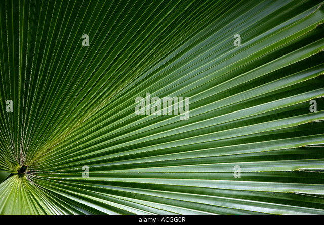 Big leaf in side the rain forest of Metropolitan park, Republic of Panama. - Stock Image