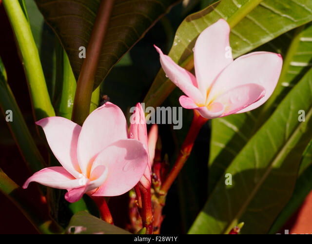 Pink plumeria inflorescence variety Aloha - Stock Image