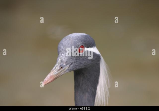 a close up of the demoiselle crane - Stock-Bilder