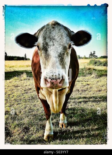 Cow staring at camera - Stock Image