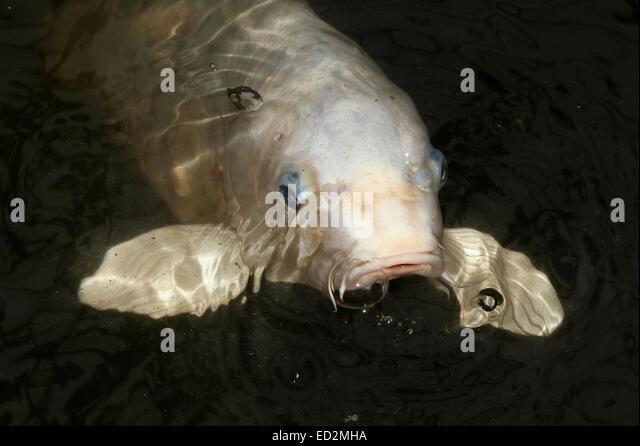 Koi karpfen stock photos koi karpfen stock images alamy for All white koi