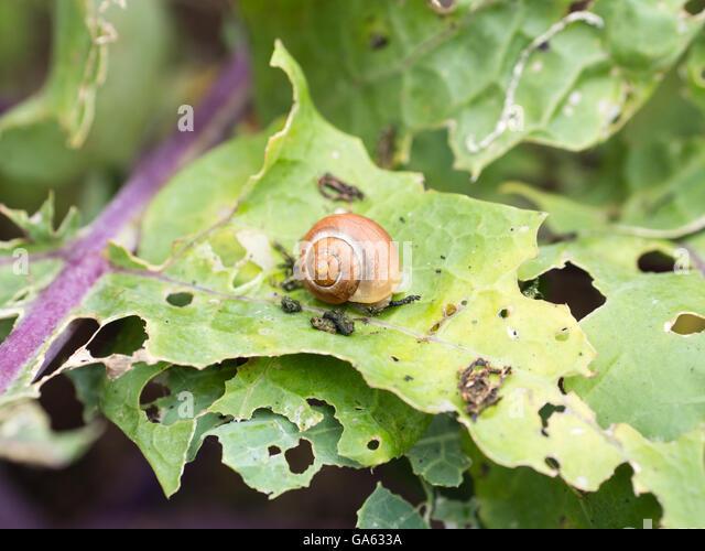 Slug on a Kohlrabi (German turnip or turnip cabbage) leaf with slug and cabbage fly damage. - Stock Image