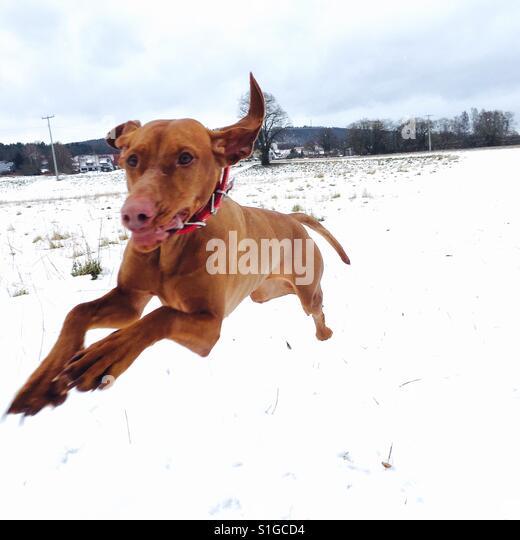 Happy dog jumping in wintertime - Stock-Bilder