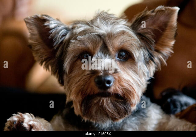 close up headshot of adorable Yorkie dog terrier with fresh hair cut looking directly into camera - Stock Image
