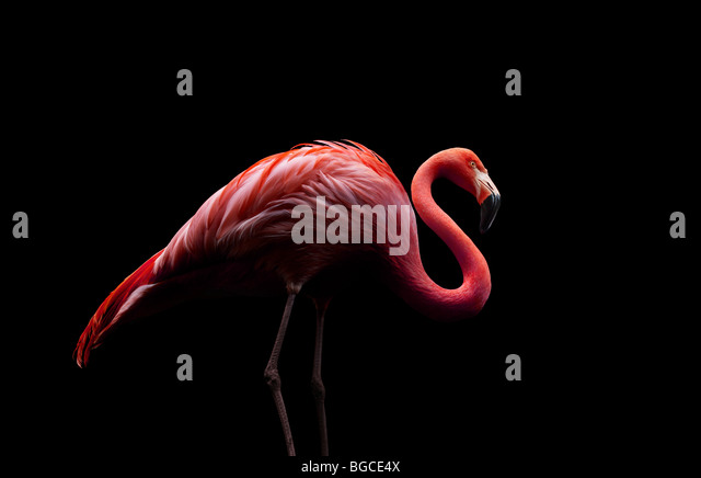 flamingo standing on two legs - Stock Image