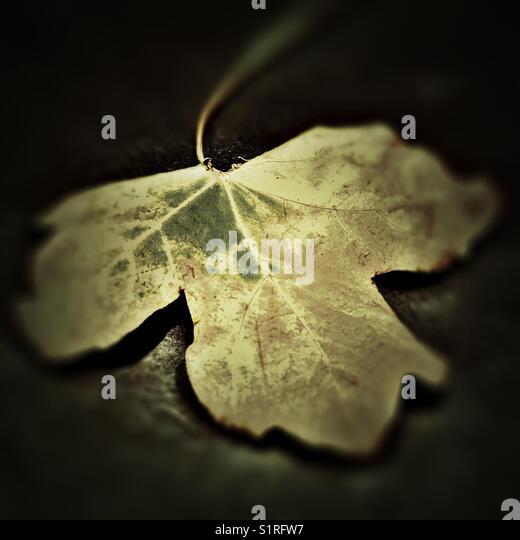 Autumnal Maple Leaf - Stock Image