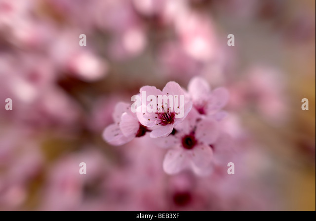 Pink plum blossom tree - Stock Image