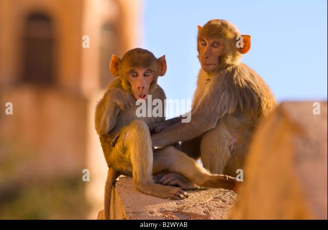 Monkeys at Tiger Fort, Jaipur City, Rajasthan, India, Subcontinent, Asia - Stock-Bilder