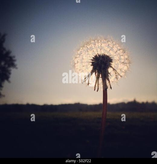 Dandelion Sunset - Stock Image