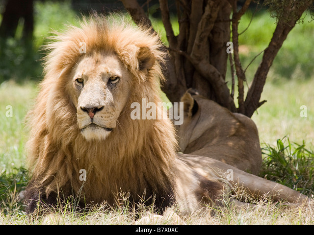 Male Lion Lion Park South Africa - Stock Image
