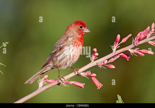 House Finch Carpodacus mexicanus Amado, Santa Cruz County, Arizona, United States 3 June  Adult Male - Stock Image