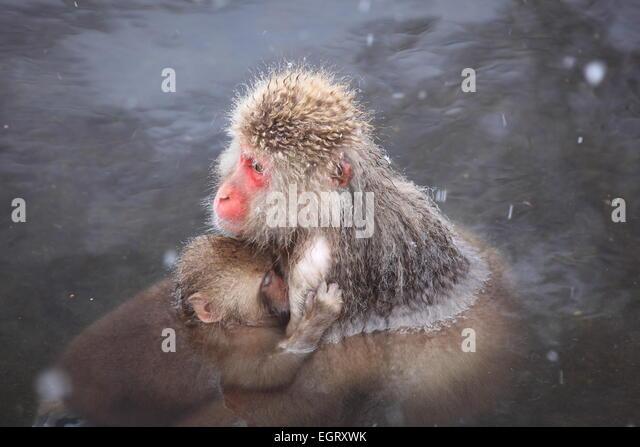 Monkey mother and baby in hot spring, Jigokudani, Nagano, Japan - Stock Image