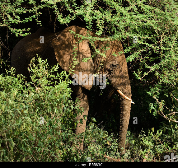 Elephant in bushes. - Stock Image