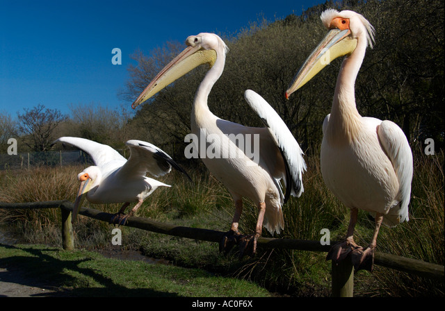Three Perched Pelicans Wildlife Park IOM - Stock Image