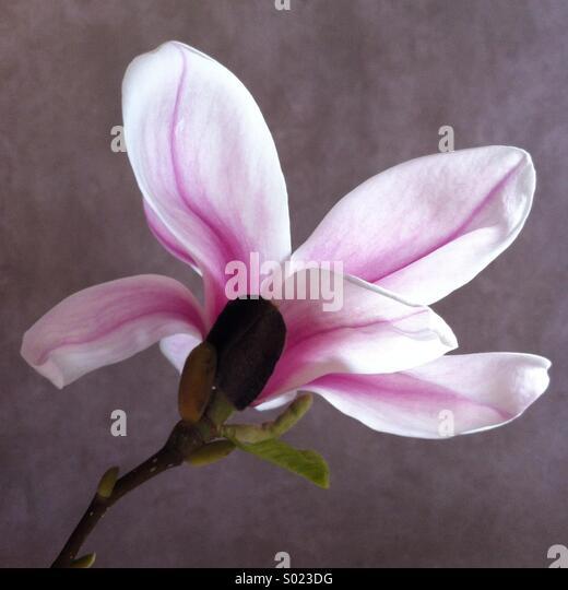 Magnolia bloom - Stock Image