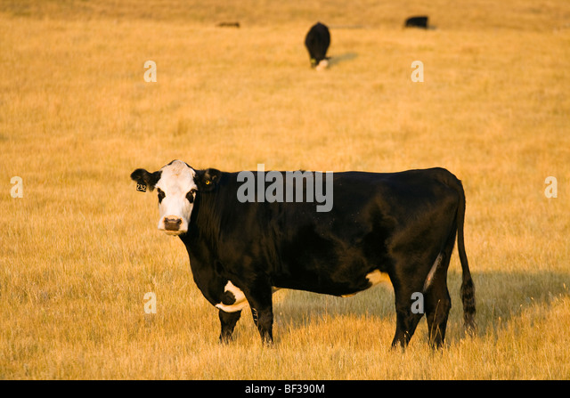 Livestock - Black Baldie cow on a pasture of cured grass in early Autumn / Alberta, Canada. - Stock Image