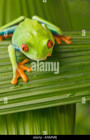 Tree frog on leaf - Stock Image