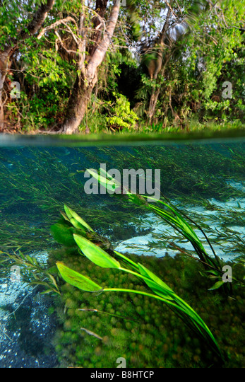 Split image of the lush vegetation above and bellow water, Sucuri river,  Bonito, Mato Grosso do Sul, Brazil - Stock Image