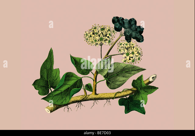 Ivy, historical illustration - Stock Image