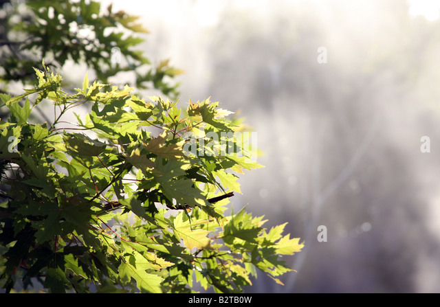 Maple tree leaves in early morning sunlight - Stock Image