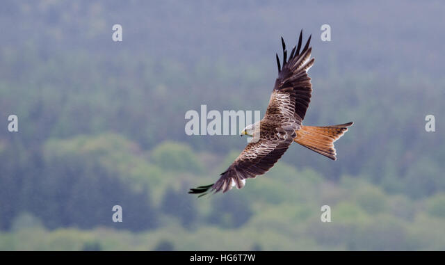 A Red Kite (Milvus milvus) soars over a forest in the rain, Galloway, Scotland - Stock Image