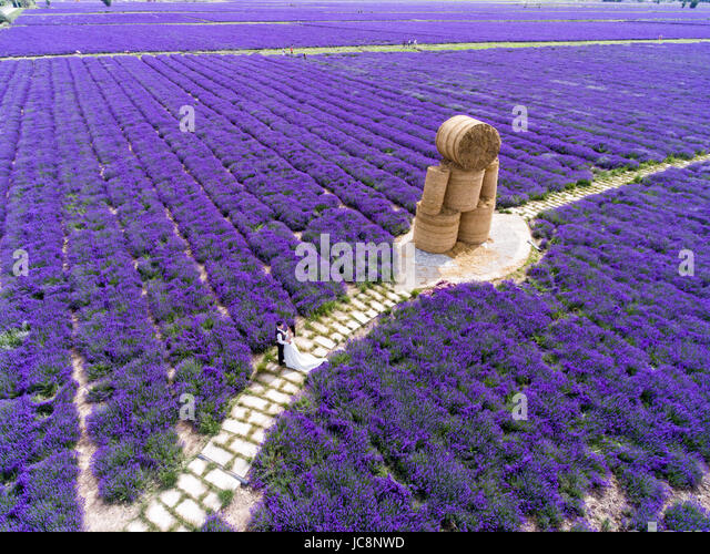 Ili, China's Xinjiang Uygur Autonomous Region. 14th June, 2017. A couple pose for wedding photos at a lavender - Stock-Bilder