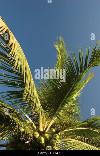Cocos nucifera Tree Evergreen Edible Sustainable resource - Stock Image