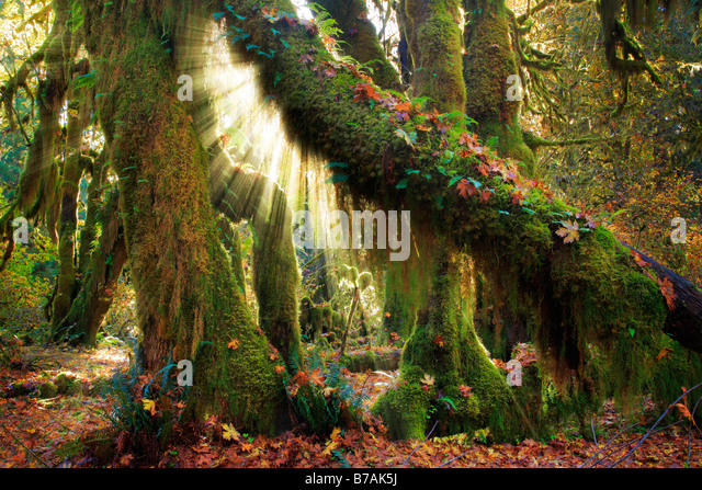 Hoh rain forest in Olympic National Park in autumn - Stock-Bilder