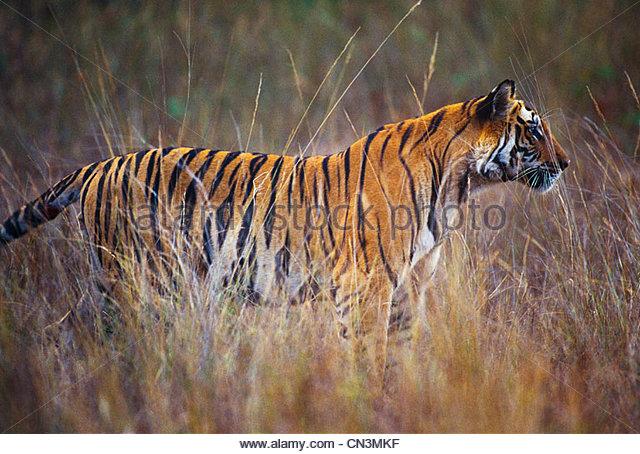 Tiger, Ranthambhore National Park, India - Stock-Bilder