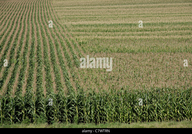 Corn Crop rural Iowa USA - Stock Image