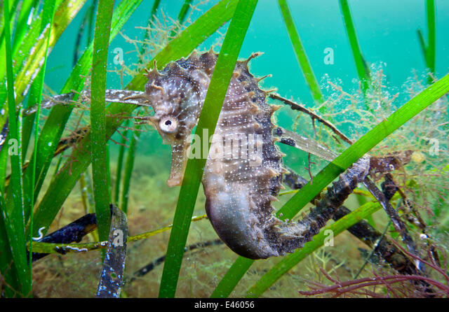 A male Spiny Seahorse (Hippocampus guttulatus) hides in seagrass. Etang De Thau (Thau Lagoon), Montpellier, France, - Stock Image