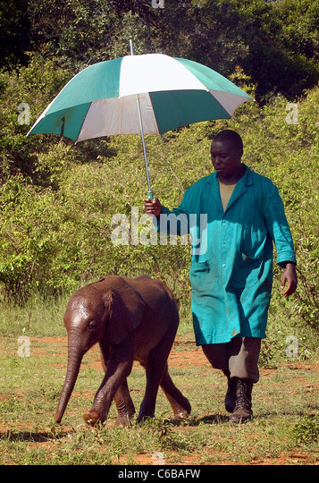 ORPHAN ELEPHANT BEING SHELTERED BY HIS KEEPER FROM THE SUN ELEPHANT SHELDRICK ORPHANAGE NAIROBI KENYA - Stock Image