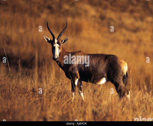 Blesbok Damaliscus d Dorcas a common highveld antelope in Malolotja Game Reserve Swaziland - Stock Image