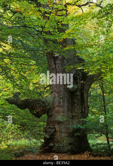Dead Oak tree (Quercus), autumn, Sababurg primeval forest, Reinhardswald forest, Hesse, Germany, Europe - Stock Image