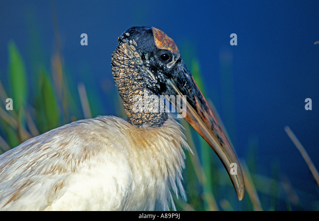 Wood stork portrait endangered bird - Stock Image