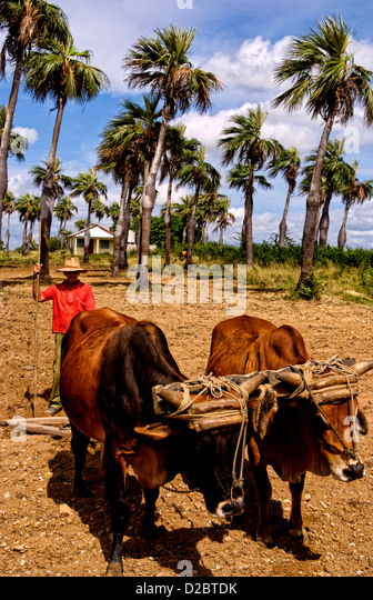 Old Fashioned Farming In Tobacco Fields In Sierra Del Rosario Mountains With Oxen Plowing Fields. Cuba - Stock Image