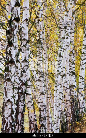 Birch Forest Arrangement Bohemia Background Backgrounds Birch Birch tree Birchwood Color Colour Czech Repu - Stock-Bilder