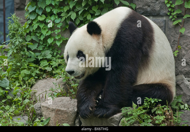 Giant panda sitting on a rock at Beijing Zoo, Beijing, China. - Stock Image