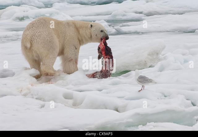 Male polar bear (Ursus maritimus) with a seal prey, Svalbard Archipelago, Barents Sea, Norway - Stock Image