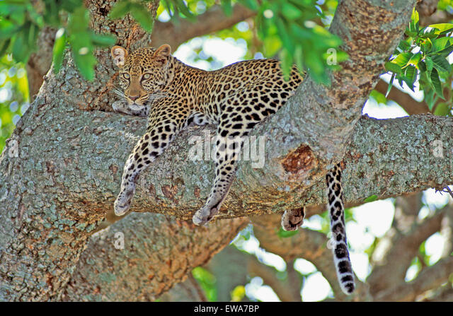 African Leopard resting in tree,Masai Mara,Africa - Stock Image