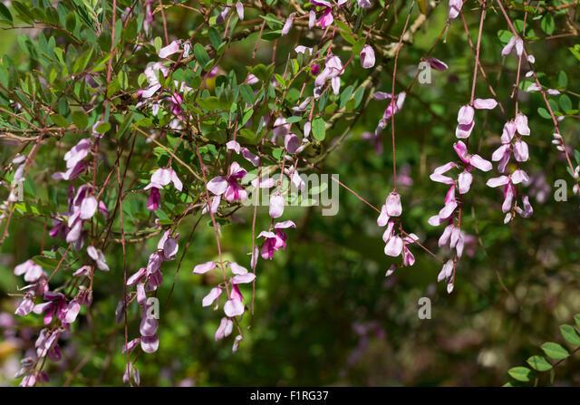 Dangling flower racemes of the weeping indigo, Indigofera pendula, a borderline hardy shrub - Stock Image