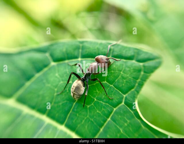 ant in micro lens - Stock Image