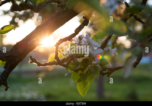Close-Up Of White Flowers Growing On Branch - Stock Image