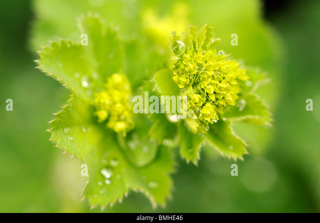 Alchemilla mollis (Lady's Mantle) in spring - Stock Image